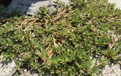 Тушт (Portulaca oleracea L.), весник лета